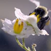 Slo-Mo of bee dislodging pollen from a flower  Secrets of the Hive > Buzz pollination is a special technique for dislodging pollen from certain types of plants - and bumble bees are among the few species of bee capable of doing it.  http://www.smithsonianchannel.com/videos/slo-mo-footage-of-a-bumble-bee-dislodging-pollen/44877