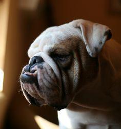 bulldog...