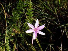 Hesperantha petitiana