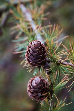and break clear away, once in awhile, and climb a mountain or spend a week in the woods. and in the eternal youth of Nature you may renew your own. Mother Earth, Mother Nature, Evergreen Garden, Conifer Trees, Walk In The Woods, Seed Pods, Nature Pictures, Pine Cones, Belle Photo