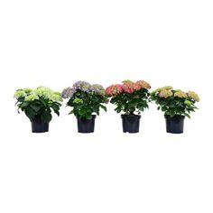 HYDRANGEA Plante en pot IKEA (BLANC/ROSE) - 19 CM