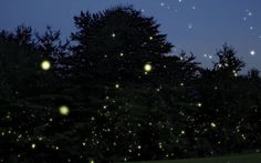 Synchronized Fireflies at Elkmont | Tennessee Vacation