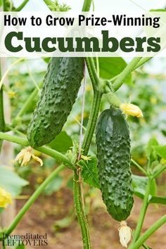 How to Grow Cucumbers in your Garden- Tips for growing cucumbers, including how to plant cucumber seeds and how to transplant, care for cucumber seedlings and more cucumber gardening tips. http://premeditatedleftovers.com/gardening/how-to-grow-cucumbers/