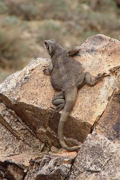 Common Chuckwalla (Sauromalus ater) adult female