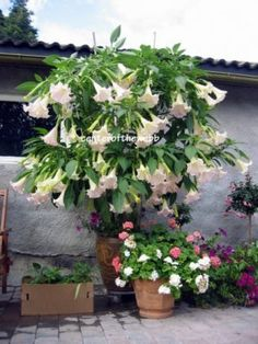 Assorted Brugmansia Angel Trumpet Fragrant - 6 Cuttings
