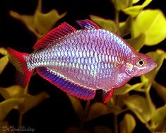 44 best rainbow fish images on pinterest fish aquariums fish i got 2 of these rainbowfish fandeluxe Image collections