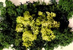 X-moss picture the natural homedeko Herbs, Natural, Pictures, Photos, Photo Illustration, Herb, Resim, Spice, Clip Art