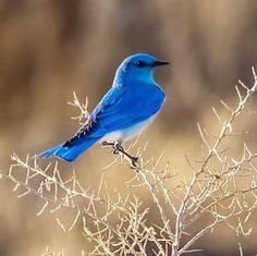 Blue bird. The color of these birds are truly shocking against the drab background of early spring in our high elevation desert. #photographylovers #photographer #photography #wildlifephotography #wildlife #worldofartists #majestic_wildlife_ #bird #beautiful #love #lovely #landscape #hot #hunt #hunting #fish #fishing #fitness #fashion #cute #color #colorful #colorado #animal #artwork #awesome #adventure #blue #wildlife_perfection #nature…