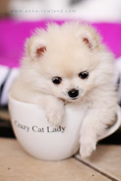 Butter, the teacup Pomeranian