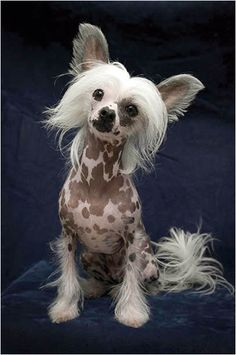 My chinese crested, Allegra