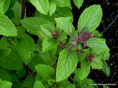 'African Blue' is one of the few basil varieties that is a perennial, and is pretty enough for your ornamental garden beds. See five other basil varieties to grow this summer from Seasonal Wisdom.