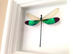 """Real Dragonfly Taxidermy Art - Damselfly, Insect Art, Bug Arts, Bugs, Insects, Taxidermy, Entomologist, Butterflies. A 5""""x5"""" white wood shadow box frame secures a a real Damselfly insect inside. Very unique! All insects come from preservation farms and lived a full life. They were not harmed in any way for my artwork. Information cards will be included to learn more. Makes a great conversational piece! The beauty of insects and nature come together providing a great conversation piece and..."""