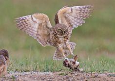 Image result for Burrowing Owl Burrowing Owl, Bird, Image, Animals, Owls, Birds