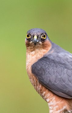 Sharp-shinned Hawk (Accipiter striatus)