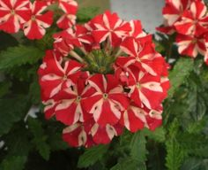 Tried & True Verbena Sweet Dreams Voodoo Star Garden Stand, Most Beautiful Flowers, Drought Tolerant, Voodoo, Sweet Dreams, Garden Plants, Bloom, Window Boxes, Make It Yourself