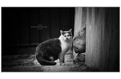 Cat       - Canon 60D    - Canon EF-S 55-250 IS STM __________________________________________________  Copyright © 2015 GALLETTO MARCO - CUNEO - ITALY        -       All rights reserved.   My Getty image Contributor page  Posted by Margall photography  on 2015-02-08 13:47:28      Tagged:  , cat  - http://newsyork.gq/cat-132/