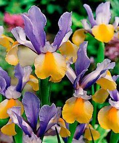 Purple butterfly iris