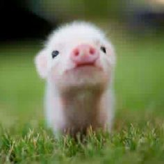 only the cutest pig ever!!