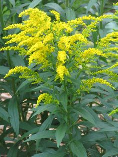 The Goldenrod was named the state flower of the U.S. state of Kentucky in 1926 - Solidago, commonly called goldenrods, is a genus of about 100 to 120 species of flowering plants in the aster family, Asteraceae. Solidago species are perennials growing from woody caudices or rhizomes. Their stems can be decumbent to ascending or erect, ranging in height from 5 to 100 or more cm. Some species have stems that branch near the top.