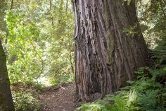 Forest of Nisene Marks Advocate Tree, 260 Feet Tall, over 1000 years old