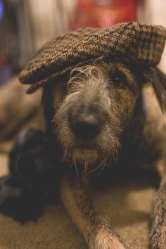 Irish Wolfhound, the jauntiest of Wolfhounds.