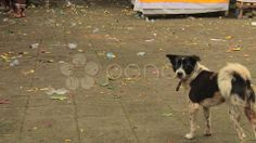 Bali Dog 1 - Stock Footage | by youseehim