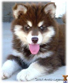 Alaskan Malamute Puppy. So Cute!