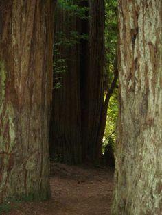 Redwood grove, northern California. Photo by Carolan Ivey