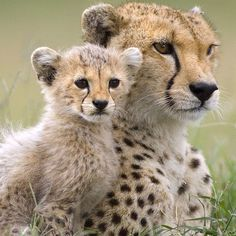 Cheetah momma & baby.