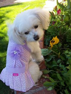 Zoe the therapy dog in her pretty lavender dress.  Isn't she just the cutest little button ever