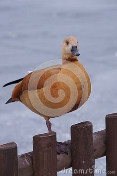 ruddy-shelduck-winter-landscape-tadorna-ferruginea Winter Landscape, Owl, Bird, Winter Scenery, Owls, Birds
