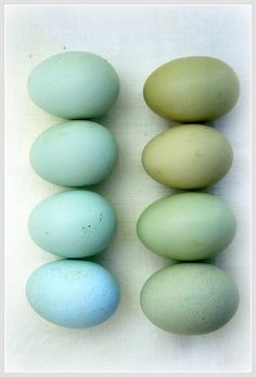 I learned something new today~ Chickens who lay eggs in these beautiful hues of green and blue! Amazing Araucana chickens!