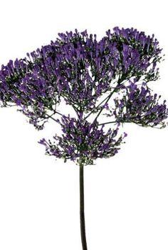 Purple trichilium