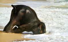 Baby elephant's first time at the beach (xpost /pics) - Imgur