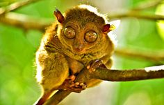 The Philippine Tarsier in Bohol   20 Photos of the Philippines that will make you want to pack your bags and travel © Aime Andrade