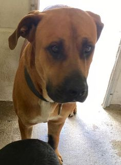 "06/02/17-Nueces County, TX: Dogs in Need of Rescue 4 hrs · BIG JERRY! Another ""donation"" to kill shelter. What did he do to deserve this? Jerry is a big mastiff mix that is as gentle as a lamb. This guy is handsome, sweet and great with other dogs. NEEDS IMMEDIATE RESCUE OR ADOPTION K24 Nueces County Animal Control Call coordinator at 410-608-2195"
