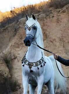 Super Arabian Horses