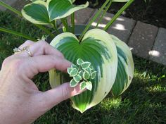 Hosta Queen Josephine  By Carolyn Mohler Kraft