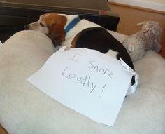 snoring beagles