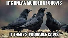 It's only a Murder of Crows if there's Probable Caws Group Of Crows, Crow Call, Punny Puns, Best Puns, Raven Bird, Crows Ravens, Rabe, Pretty Birds, Life Humor