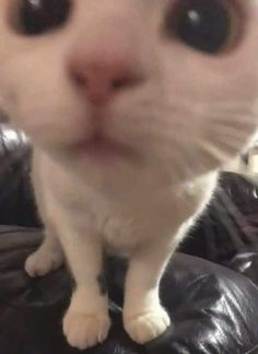 Cute Baby Cats, Cute Little Animals, Cute Funny Animals, Kittens Cutest, Cats And Kittens, Funny Cats, Funny Animal Photos, White Kittens, Bb Chat