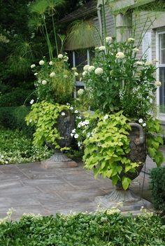 Serene white and lime green container garden - sweet potato vine, white petunia, white angelonia and white dahlia.