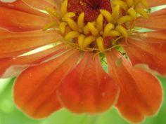 Zinnea: close-up