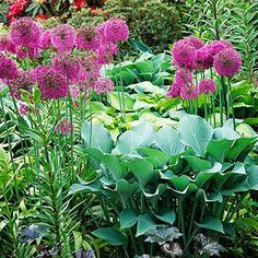 Allium and hosta. Create a contemporary look in a hosta garden by adding purple allium for its unique pom-pom shape and leafless stem. Allium brings height to beds of low-growing hostas. Lavender Globe Lily and Turkestan Onion varieties thrive in partial shade, making them a natural partner for shade-loving hosta.