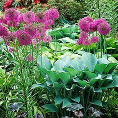 Allium and hosta pairing