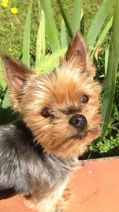 #yorkshire #york #yorkie #chien #dog