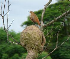 João-de-barro (Furnarius rufus) Birds, Photo And Video, Bird