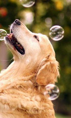 Bubbles!  Golden retriever.