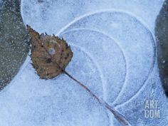 Birch Leaf Caught in Frozen Pond, Almer Lake, Bavaria, Germany Premium Poster by Martin Gabriel at Art.com