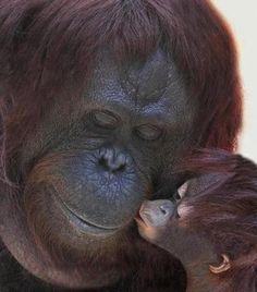 Fotos de todos los bebés del reino animal: Changuito dando un beso a su mamá